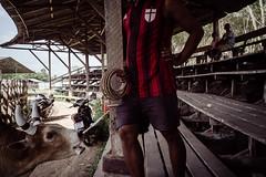 * (Sakulchai Sikitikul) Tags: street snap streetphotography songkhla sony a7s voigtlander bullfight bull 28mm thailand hatyai bullfighting bullring