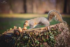 Scoiattolo (Christian Papagni | Photography) Tags: legnano lombardia italia it squirrel scoiattolo parco di canon eos 5d mark iv ef100mm f28l macro is usm
