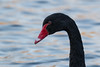 Black swan (Mibby23) Tags: black swan cygnus atratus bird wildlife nature watermead lake water canon 70d sigma 150600mm contemporary