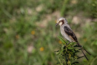 Tesoura-do-brejo (Gubernetes yetapa) Streamer-tailed Tyrant