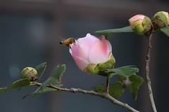 photo (Lyao_1) Tags: photo camellia flower plant nature canon canon650d 55250 650d tree sakura sky sun green macro lens leaves lavandula 櫻花 茶花 茶樹 木質 微距 180219