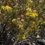dwarf goldenbush, Ericameria nana thumbnail