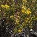 dwarf goldenbush, Ericameria nana