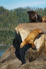 0015.jpg (grahamvphoto) Tags: animal water rocks sealion nature travel canada vancouverisland britishcolumbia vi bc trees