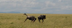 watch out! (dylanawol66) Tags: animals serengeti tanzania africa wildebeest running jumping grass