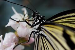 Papillons en Liberté 2018 - Photo 3 (Le Chibouki frustré) Tags: olympusomdem1 omdem1 olympus papillonsenliberté papillonsenliberté2018 butterfliesgofree butterfliesgofree2018jardinbotanique jardinbotaniquedemontréal botanicalgarden montrealsbotanicalgarden butterfly butterflies macro insect insects