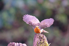 3 2 1 we have lift off (Paul Wrights Reserved) Tags: robin bird birding birds birdphotography bokeh birdwatching birdinflight takingoff wings
