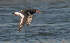 DSC2146  Oystercatcher.. (jefflack Wildlife&Nature) Tags: oystercatcher birds avian animal animals wildlife wildbirds waterbirds wetlands waders seabirds shorebirds seashore countryside coastalbirds coastal coastline coast harbours estuaries estuary reservoirs mudflats lakes ogmore nature