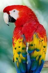 Scarlet macaw (dpsager) Tags: arizona bird dpsagerphotography macaw phoenix phoenixzoo scarletmacaw zoo