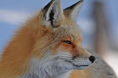 Red Fox Profile - 2322b (teagden) Tags: red fox redfox profile deepinthought closeup winterfox jenniferhall jenhall jenhallphotography jenhallwildlifephotography wildlifephotography wildlife nature naturephotography wyoming wyomingwildlife photography wild nikon winter winterphotography