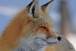 Red Fox Profile - 2322b