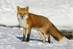 Gorgeous Red Fox Hunting Voles (AlaskaFreezeFrame) Tags: fox redfox vixen cute nature wildlife outdoors canon telephoto alaska alaskafreezeframe animals mammals carnivore predator zorro sly snow frost winter outdoor hunting voles sunny beautiful gorgeous