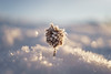 Frosty plant (Helena Normark) Tags: frost frostyplant beautifullight winter ust trondheim sørtrøndelag norway norge sonyalpha7 a7 35mm lensbaby burnside35 lensbabyburnside35 lensbabylove seeinanewway