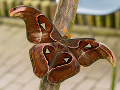 Atlas moth / Atlasspinner (Attacus atlas) (ralph_behrens) Tags: 2018 atlasmoth atlasspinner attacusatlas mzuiko60mmf28macro niedersachsen omd omdem1markii oly olympus ralphbehrens schmetterlingsfarm steinhude winter