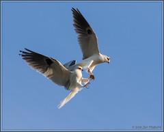 Mid-air Refueling 5750 (maguire33@verizon.net) Tags: bif elanusleucurus whitetailedkite bird birdofprey kite wildlife