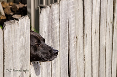 may I take your order? (TAC.Photography) Tags: fence dog watchdog black grey weathered weatheredfence weatheredwood tomclarkphotogrpahycom tomclark tacphotography d7100