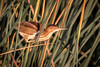 female least bittern surprise (robertskirk1) Tags: nature outdoor wildlife animal bird least bittern female male rich grissom memorial wetlands viera florida fl