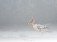 Painted Stork (T@hir'S Photography) Tags: painted stork fog nature outdoor travel bird animal wildlife wildbird ahir tahir outdoors morning winter gettyimages animalbehavior animalwildlife animalsinthewild backlit beautyinnature blue cloudsky colorimage day flying greencolor horizontal island keoladeonationalpark lake lakeshore leaf lightnaturalphenomenon livingorganism looking marsh nopeople paintedstork pakistan photography plant pond rajasthan reflection river ruralscene scenicsnature silhouette sky springtime summer swamp tranquilscene tree water watersedge wetland woodland