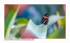 Kleiner Postbote (heliconius erato) (H. Roebke) Tags: 2018 canon100mmf28makrolisii canon5dmkiv color farbe insekt postbote butterfly hannover insect nature fauna natur lightroom colour