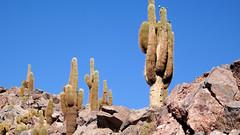 120 KaktusTal - cactus valley (roving_spirits) Tags: chile atacama atacamawüste atacamadesert desiertodeatacama désertcôtier küstenwüste desiertocostero coastaldesert