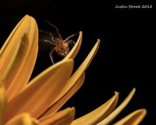 Cobweb Spider 2