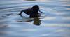 Tufted Duck (Laura Cooper94) Tags: tufted duck nature wild wildlife attenborough reserve nottingham amateur nikon d3300