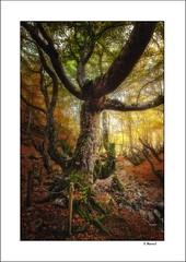 Fagus. la busqueda de la luz /Fagus, the search for light (tmuriel67) Tags: tree autumn colores colours arboles bosque faedodeciñera forest leaves nature hayas outdoors