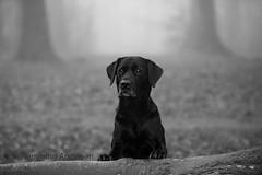 Buddy in the forest (Flemming Andersen) Tags: labrador dog fog buddy jelling regionofsoutherndenmark denmark dk