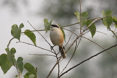 Long-tailed Shrike (tim ellis) Tags: rajasthan bharatpur keoladeonationalpark holiday bird shrike longtailedshrike rufousbackedshrike laniusschach india