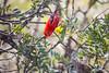 Scarlet Honeycreeper (matthewolsonphotography.com) Tags: iiwi honeycreeper hawaii maui haleakala redbird red creeper bird birdwatching wildlife outdoor animal beautiful