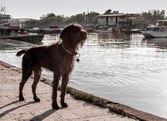 Dog (vlajko611) Tags: dog animal pet danube river belgrade serbia