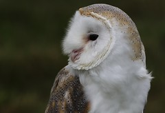 BARN OWL (CAPTIVE) (merseymouse) Tags: barnowl raptors birds birdsofprey