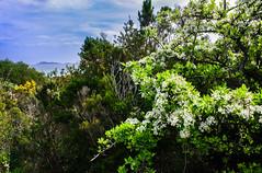 IMG_6552-1 (Andre56154) Tags: italien italy italia sardinien sardinia sardegna küste coast meer ozean ocean himmel sky wolke cloud landschaft landscape pflanze natur blüte blossom wasser water
