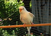 """ESKI"" the BUDGIE also known as ""MISS PROMISCUOUS"" (Lani Elliott) Tags: nature naturephotography lanielliott budgie bird pet eskithebudgie feathers white bokeh light bright garden homegarden birdaviary beautiful awesome"
