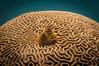 A Spot on the Planet (RoamingTogether) Tags: braincoral christmastreeworm coral coralreef diving faviidae florida floridakeys frenchreef ikelite ikeliteds51 johnpennekamp keylargo nikon nikon181053556 nikond300 pennekampstatepark scuba scubadiving spirobranchusgiganteus watersports