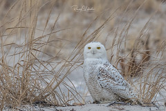 Snowy Owls of New Jersey | 2018 - 5 (RGL_Photography) Tags: birding birds birdsofprey birdwatching buboscandiacus gardenstate jerseyshore monmouthcounty mothernature nature newjersey nikonafs600mmf4gedvr nikond500 ornithology owls raptors snowyowl us unitedstates wildlife wildlifephotography beachowl