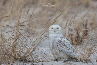 Snowy Owls of New Jersey | 2018 - 5