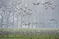 Everybody is here... (martinstelbrink) Tags: geese gänse wildgeese wildgänse greaterwhitefrontedgeese greaterwhitefrontedgoose blässgans blässgänse möwen gulls blackheadedgull lachmöwen lachmöwe birds vögel sony alpha77ii a77ii sigma120400mmf4556 sigma tele salmorth düffel naturschutzgebietdüffel germany nrw nordrheinwestfalen schenkenschanz
