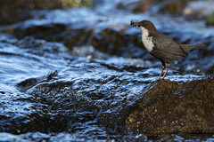 MIRLO ACUÁTICO (Carlos Cifuentes) Tags: mirloacuático merlorieiro dipper cincluscinclus carloscifuentes wildlife wildlifenature nature bird birds