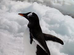 Brown_2017 12 11_0197 (HBarrison) Tags: harveybarrison hbarrison antarctica antarcticpeninsula paradiseharbor brownstation gentoopenguin taxonomy:binomial=pygoscelispapua arctic antarctic arcticantarctic