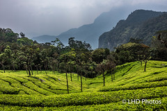 Coonoor, India-3.jpg (LHDPhotos) Tags: tea plantation teaplantation landscape mountains verdant green