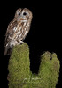 Tawny Owl (Ian howells wildlife photography) Tags: wales unitedkingdom gb tawnyowl owl ian howells ianhowells wildlife