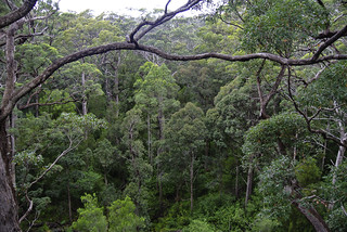 Tree tops in Walpole-Nornalup National Park