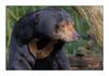 Malaienbär (Matthes S.) Tags: helarctosmalayanus hundeartige malaienbär natur raubtier sonnenbär sunbear säugetier tier zoo zoomünster