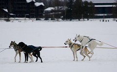 Come on, let's go! (stephencharlesjames) Tags: dogs canine sled animals lake placid new york state