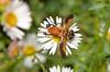 Trichopoda: feather-legged fly (jeans_Photos) Tags: westernaustralia swanview fly trichopodagiacomelli biocontrol introduced alien invertebrates pollinator diptera