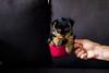 _MG_8075 (jonathansobrino) Tags: pet dog puppy roi roy love lover amor mascota cachorro sanvalentín valentines