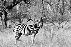 Kruger Park (marcosorrentino.arch) Tags: kruger park sudafrica johannesburg africa animal human