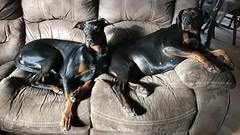 Dobermann Pinschers Saxon And Gabbana Relaxing On The Sofa (firehouse.ie) Tags: chien hund perro animals dogs saxon gabbana pinscher pinschers dobermans dobermanns doberman dobermann dobeys dobey dobe dobies dobie dobes