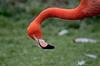 Necky (Nige H (Thanks for 11m views)) Tags: nature animal bird flamingo orange pink neck head portrait necky